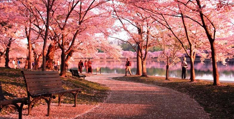 The annual Cherry Blossom Festival's famous Cherry Blossom Trees.