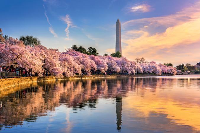 Cherry Blossom Trees border the Washington Monument.